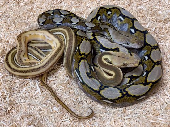 Picture of One of a Kind Pied Maker Pair